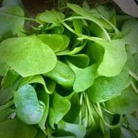Frischer Portulak Salat